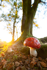 Fly Agaric - Amanita muscaria (Max Thompson Photography) Tags: nature wild fingi macro wideangle wide angle fly agaric amanita laccaria amethystina amethyst deceiver south west england uk canon somerset exmoor