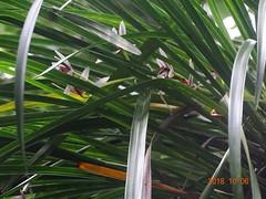 DSC01636鳳蘭