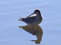 Chevalier arlequin (Tringa erythropus) (zogt2000 (No Video)) Tags: chevalierarlequin trigaerythropus oiseau bird leguilvinec