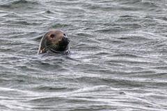 Whiskers Ahoy (Mac ind Óg) Tags: findhorn summer landscape moray seal phocavitulina walking scotland commonseal holiday animal forres sea