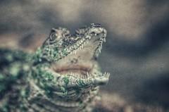 !rUn! (***étoile filante***) Tags: aligator animal tier closeup nahaufnahme pentax