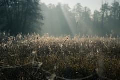 Bosch (25 of 32) (VarsAbove) Tags: kampinos kpn kampinoski park narodowy fog mist mgła morning sunrise dawn wschód polska poland łoś moose sony sonya7 a7ii coffe milkyway