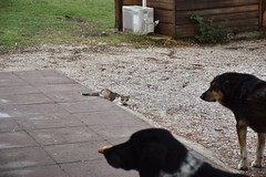 fullsizeoutput_8ec1 (lnewman333) Tags: epidavros epidaurus greece europe 6thcenturybc ancient ancientgreece healing sanctuary peloponnese historic cafe dog cat