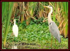 GREY HERON (Ardea cinerea)..........NAIROBI NAT PARK......SEPT 2015 (M Z Malik) Tags: nikon d3x 200400mm14afs kenya africa safari wildlife nairobinatpark exoticafricanwildlife exoticafricanbirds ngc npc