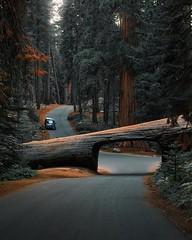 🌍Sequoia National Park, California -  Michael Block (adventurouslife4us) Tags: adventure wandelrust travel trip explore outdoors nature photography forest california