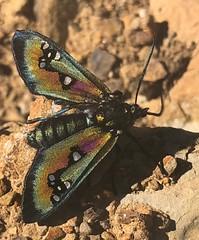 Chrysocale regalis (Birdernaturalist) Tags: bolivia lepidoptera moth richhoyer