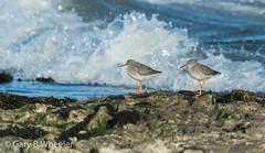 Redshank (Ponty Birder) Tags: g b wheeler garywheeler pontybirder birds wales waders