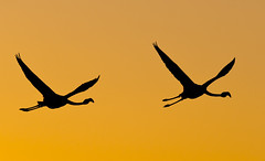 Flamingos flight at sunset (paolo_barbarini) Tags: flamingo flight bird camargue france sunset colors orange wildlife birds nature silhouette backlight animals flamingos fenicotteri uccelli tramonto