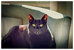 Black beauty (Pepenera) Tags: gatto gato gatti black cat cats chat