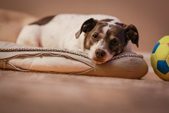 Lazy bones (Plump Panda Photography) Tags: pet dog 85mm14 rokinon 6d canon