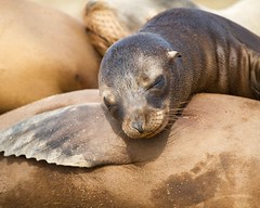 La Jolla Cove (pulper) Tags: red seal seals sleep sandiego lajolla lajollacove tired cute nose whiskers cuddle closeness rest