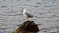 Mouette (Jehanmi) Tags: thebeautyofnature mer nature birds oiseaux mouette