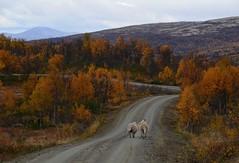 """ Homeward Bound ""..... (KvikneFoto) Tags: høst fall tamron nikon 2018 sau sheep lam lamb landskap natur vei road autumn"
