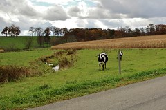 Curious cow - shy cow (mpalmer934) Tags: cows autumn fall fence corn