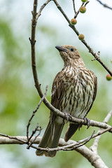 DSC_1389 (RhysSharryArchive) Tags: animalia australasianfigbird australia aves bird oriolidae passeriformes queensland ravenshoe rhyssharry sphecotheres sphecotheresvieilloti wildlife