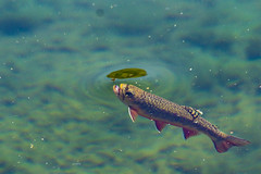 BareIslandLakeTrout2Sept2-18 (divindk) Tags: bareislandlake california commonname maderacounty oncorhynchusmykiss scientificname sierranationalforest backpacking camping fish lake quiet rainbowtrout reflection serene trout