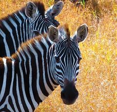 Zebra (Carol Griffiths) Tags: zebra wildlife africa safari