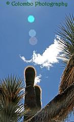 IMG_2537 (colombophoto58) Tags: arizona desert cactus nature beauty bright sunny blue sky