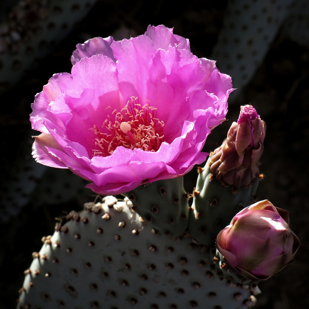 The Worlds Best Photos Of Cactus And Pink Flickr Hive Mind