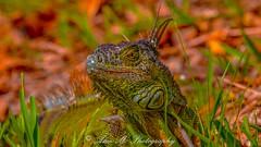 Godzilla in Technicolor (The Happy Traveller) Tags: iguana reptiles animals miamidade miami colorfulreptiles coloursplosion colorful marculescueugen dreams light portal abigfave