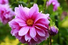 _52R2281 (Dream Delivered (Dreamer.Thanks for +6.000.000 vi) Tags: flowers rain photosandcalendar