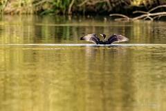 Se sécher ... dans l'eau !!! (denis.loyaux) Tags: greatcormorant grand cormoran grandcormoran phalacrocoraxcarbo pélécaniformes phalacrocoracidés
