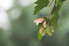 swing dancing (rockinmonique) Tags: muttartconservatory plant tree leaves seed seedpod pink green macro light bokeh moniquewphotography canon canont6s tamron tamron45mm copyright2018moniquewphotography
