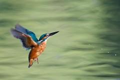 Kingfisher (redmanian) Tags: kingfisher bird ianredman