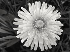 Dandelion (markwilkins64) Tags: texture tone petals grass macro dandelion flower plant bokeh mono markwilkins monochrome blackandwhite bw nature dof depthoffield shallowdepthoffield