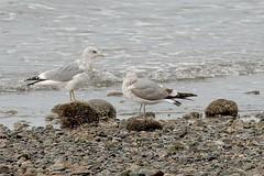 California Gulls (Larus californicus) adult & 2nd summer. (plsmart) Tags: whiterockbc 201839