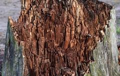 Im Loher Gehege - altes Holz; Lohe-Föhrden (21) (Chironius) Tags: loheföhrden schleswigholstein deutschland germany allemagne alemania germania германия niemcy holz wood legno madera bois hout explored