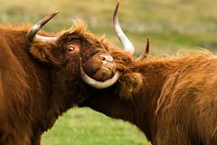 Just cuddling (Matthias-Hillen) Tags: highland highlands scotland schottland united kingdom grosbritanien matthias hillen matthiashillen kuh cow cattle kyloe horn hörner cuddling fight kampf kämpfen kräfte messen