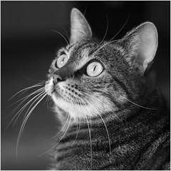 Emi watching ... (RysiekLL) Tags: pentax k50 smc70ltd emi kot cat pet pentaxlifethank