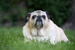 Charlie (Megan Lorenz) Tags: pug 14yearsold old dog canine pets purebred fawnpug animal mammal charlie ontario canada 2018 september mlorenz meganlorenz