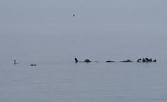 20181008 Tugwell (Robert Harwood) Tags: seals sealions cormorant juandefuca grey gray seascape sooke tugwell vancouverisland britishcolumbia canada marine