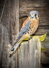 Gimli (jmhutnik) Tags: bird falcon americankestrel feathers barn wood threeriversaviancenter hinton westvirginia