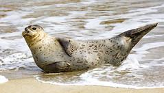 18A_1284 (Mark Ritter) Tags: seal seals macro lajolla california