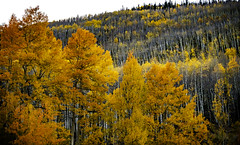 Colorado_fall_aspen_magic