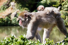 Japanese Macaque (Synghan) Tags: japanesemacaque macaque snowmonkey monkey animal ape macaca walking sideview resting awe wonder depthoffield bokeh photography horizontal outdoor colourimage fragility freshness nopeople foregroundfocus adjustment interesting tranquility peace head hair fur kyoto japan arashiyama monkeypark nature natural wild wildlife gorgeous amazing canon eos80d 80d sigma 1770mm f284 dc macro lens 일본원숭이 원숭이 일본 교토 fulllength