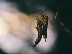 Herbst Bokeh - Tarbek - Schleswig-Holstein - Germany (torstenbehrens) Tags: herbst bokeh tarbek schleswigholstein germany