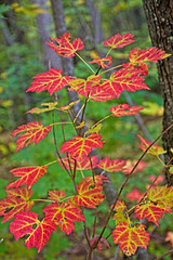 INTRO TO FALL (ddt_uul) Tags: fall red yellow maple damp rain green tree leaf michigan munising up upper upperpeninsula mapleleaftree nature outside weather