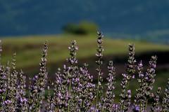 Lavanda calabra (♥iana♥) Tags: lavanda campotenese calabria selene lavender farfalle butterflies
