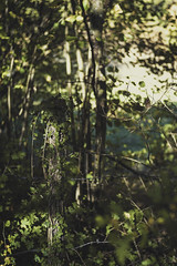 edera (mamuangsuk) Tags: edera ivy forest bokeh nokton foret foresta leica green