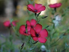 Blumengruß (ingrid eulenfan) Tags: blume flowers balkonblumen pflanze plants roterlein prachtlein einjährige sonyalpha6000 sonydt50mm 50mm