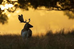 Fallow deer stag (reynardfox) Tags: deer red animals autumnwatch autumn wildlifephotography canon500mmf4mkii canon5dmkiv canonuk antlers stag