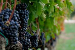 uva (♥iana♥) Tags: vino uva grape vendemmia autunno autumn fall rosso red vite vigna grapevine montemarano avellino campania italia