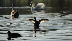 Great crested grebe flapping (1/3) (PChamaeleoMH) Tags: birds fauna flapping wimbledonpark greatcrestedgrebe