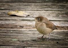 Curious Wren (59roadking - Jim Johnston) Tags: ifttt 500px autumn fall nature wild wren bird avian