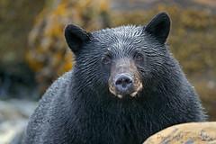 Big Beautiful Boy (PamsWildImages) Tags: blackbear nature wildlife bc canada pamswildimages canonef100400mmlens 1dxmarkii wildlifephotographer fur