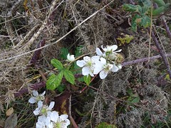 Blackberries, Mineslope, Blaen Bran, Upper Cwmbran 23 October 2018 (Cold War Warrior) Tags: blackberry cwmbran